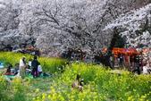春(1) 似水流年:0025.JPG 熊谷桜堤