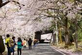 春(6) 春的禮讚:0701.JPG 滋賀.海津大崎