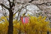 春(7) 美麗的零落:0951.JPG 船岡城址公園
