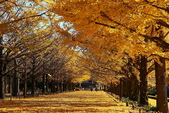 北國之春(8) 春日花海:0645-1.jpg 昭和記念公園