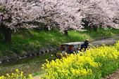 春(3) 似是故人來:0277.JPG 近江八幡水鄉めぐり