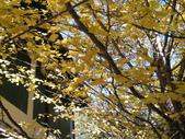 2011武陵福壽山賞楓二日遊12/4~12/5:武陵農場行政中心旁金黃耀眼的銀杏
