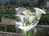 2010陽明山花季暨台北燈節(3/6):竹仔湖採海芋(8支80元)