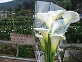 2010陽明山花季暨台北燈節(3/6):竹子湖採海芋(8支80元)