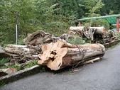 2008奮起湖阿里山之旅(8/30~8/31):阿里山千年檜木老樹頭