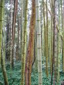 2011阿里山櫻花季二日遊(4/2~4/3):奮起湖森林步道