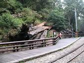 2008奮起湖阿里山之旅(8/30~8/31):已枯死放倒的阿里山神木
