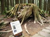 2008奮起湖阿里山之旅(8/30~8/31):阿里山老樹頭