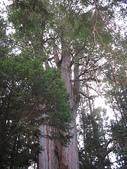 2007阿里山墾丁之旅(1/29~2/1):阿里山千歲檜