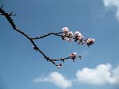 :阿里山森林遊樂區內的櫻花