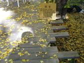 2011武陵福壽山賞楓二日遊12/4~12/5:武陵農場行政中心旁金黃耀眼的銀杏落葉