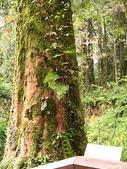 2008奮起湖阿里山之旅(8/30~8/31):阿里山巨木