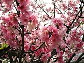 2010陽明山花季暨台北燈節(3/6):陽明山花季盛開的櫻花