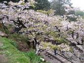 2011阿里山櫻花季二日遊(4/2~4/3):吉野櫻下的阿里山鐵道