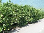 2007四天三夜環島旅行(7/31~8/3):瑞穗柚子樹