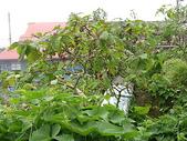2008奮起湖阿里山之旅(8/30~8/31):奮起湖樹番茄