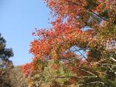 2011武陵福壽山賞楓二日遊12/4~12/5:武陵農場旅遊服務中心前方楓紅