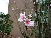 2010八里櫻花季:2010櫻花42.JPG