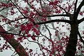 2010八里櫻花季:2010櫻花05.jpg