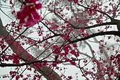 2010八里櫻花季:2010櫻花06.jpg