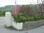 2010八里櫻花季:2010櫻花10.JPG