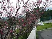 2010八里櫻花季:2010櫻花11.JPG