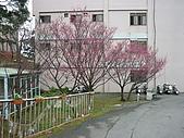 2010八里櫻花季:2010櫻花12.JPG