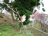 2010八里櫻花季:2010櫻花13.JPG