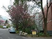 2010八里櫻花季:2010櫻花15.JPG
