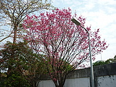 2010八里櫻花季:2010櫻花20.JPG