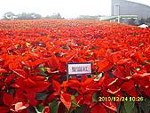 99.12.24 台北花博聖誕節:聖誕紅