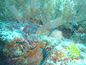 Dive in Philippines菲律賓海底:DSC06680.JPG