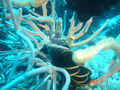 Dive in Philippines菲律賓海底:DSC06686.JPG