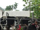 110925綠盈牧場 給牛看:1822463162.jpg