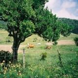 墾丁-白天:大尖山下牧場