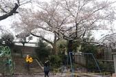 【2013東京賞花】 Day2:地上鋪滿了櫻花花瓣~