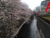 【2013東京賞花】 Day2:河川上浮著一層櫻花花瓣