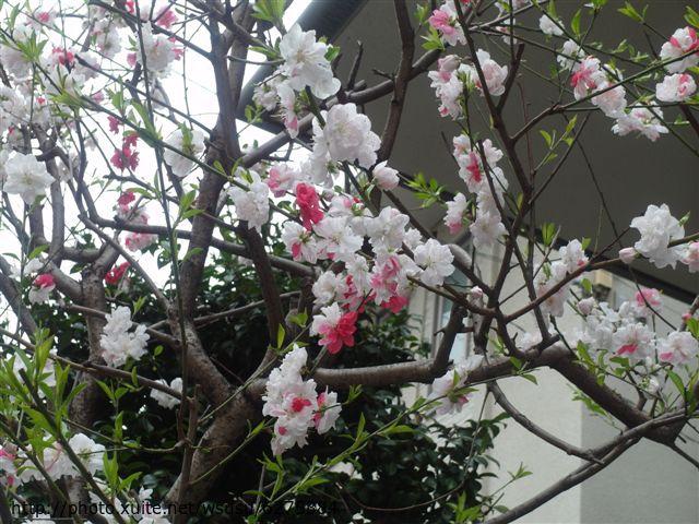 【2013東京賞花】 Day2:路邊看到的紅白花~很特別