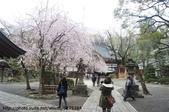 【2013東京賞花】 Day2:一進門就看到一株好美的櫻花樹
