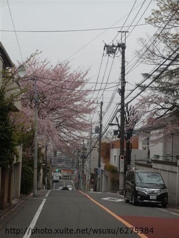 【2013東京賞花】 Day2:某戶人家開得很囂張的櫻花樹