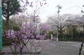 【2013東京賞花】 Day2:深大寺表參道外美麗的櫻花