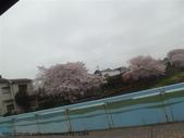 【2013東京賞花】 Day2:滿開的櫻花