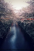 【2013東京賞花】 Day2:但遠看還是很美 而且有櫻花雨