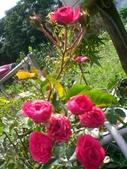 台寶休閒農村景觀:小玫瑰花.JPG