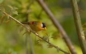 銀耳相思鳥:DSC_8698.jpg