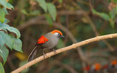 赤尾噪鹛:DSC_9474.jpg