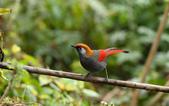 赤尾噪鹛:DSC_4614.jpg