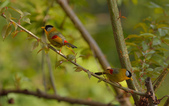 銀耳相思鳥:DSC_8694.jpg