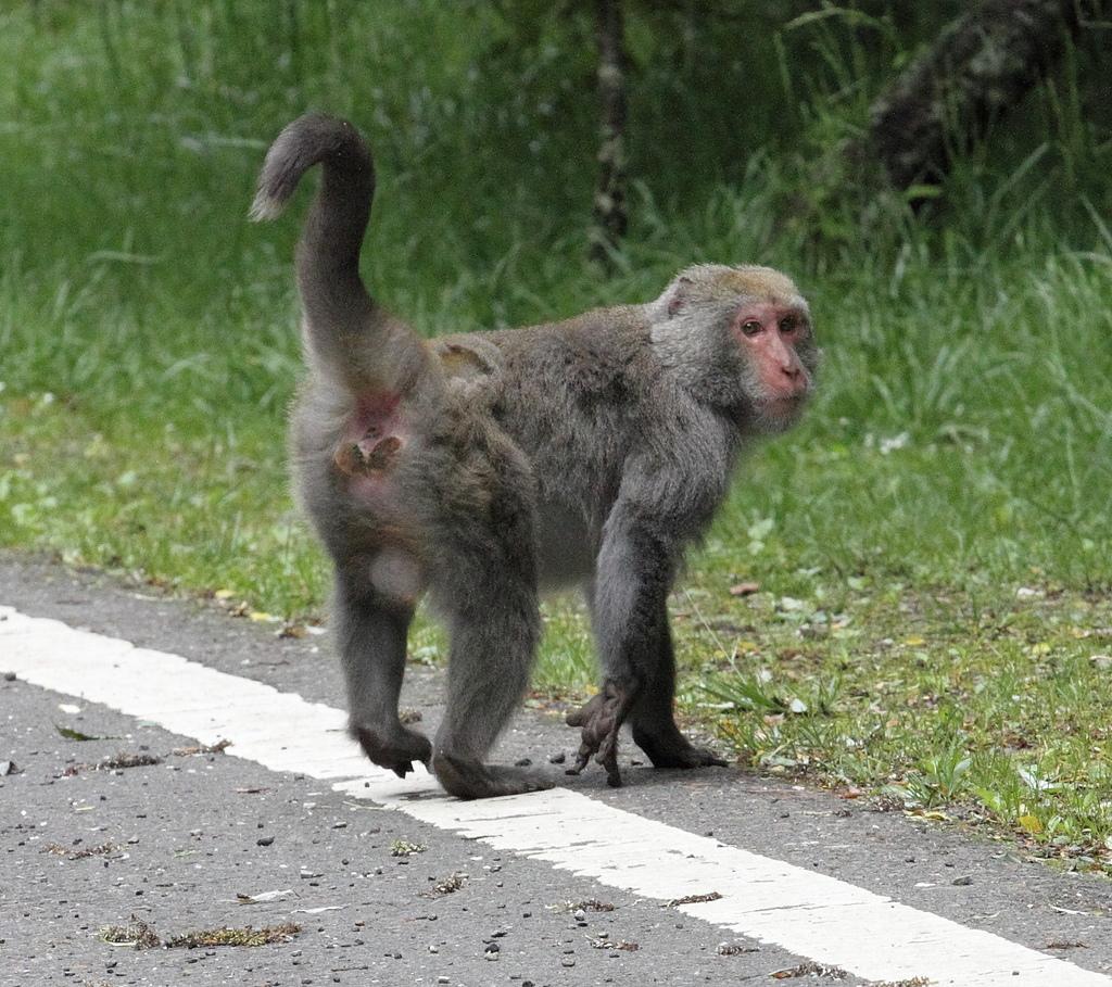 2013玉山獼猴家族資料組:20140512在106K出現新猴王2.jpg