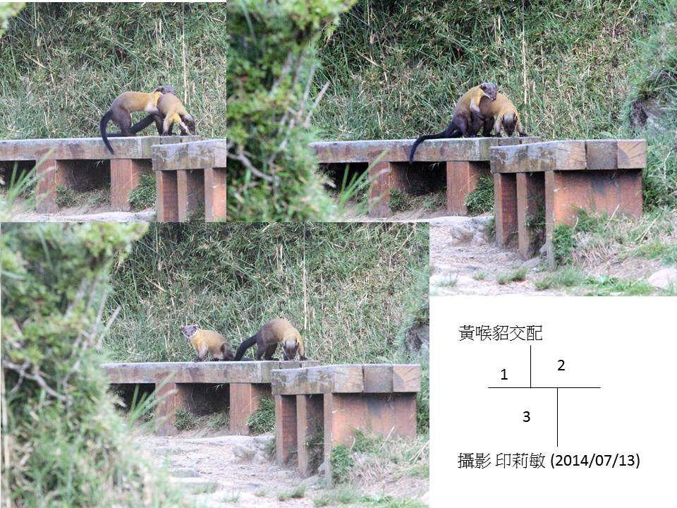2013玉山獼猴家族資料組:20140713黃喉貂交配.jpg